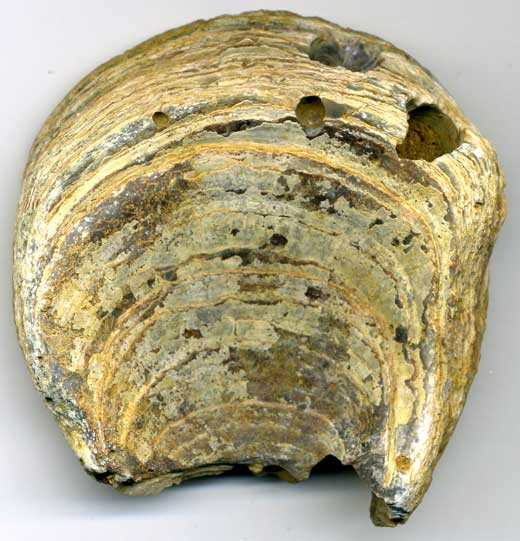 Seashell (145-65 million BC)