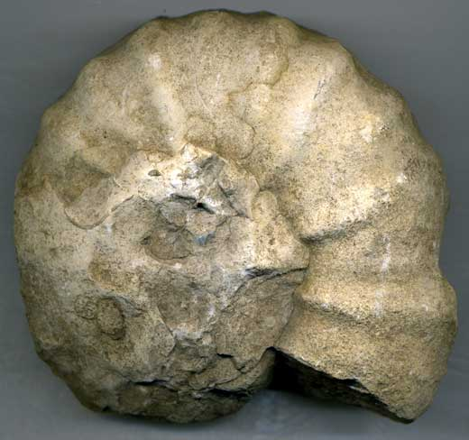 Ammonite (195-65 million BC)