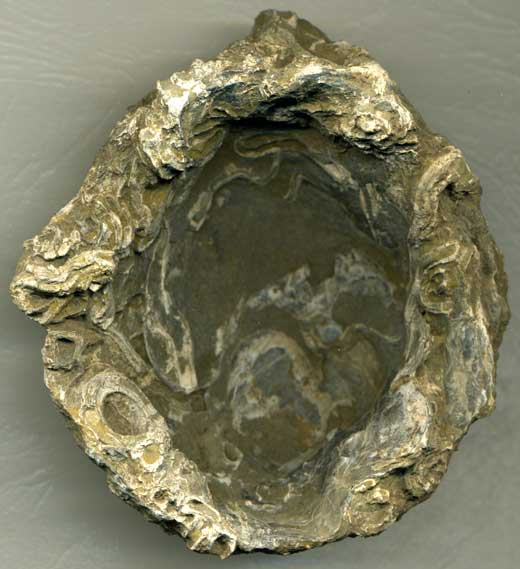 Bivalve (56-40 million BC)